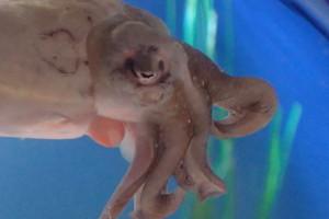 cuttlefish siphon
