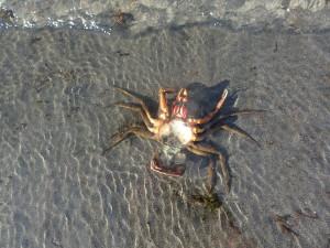 Crab wave